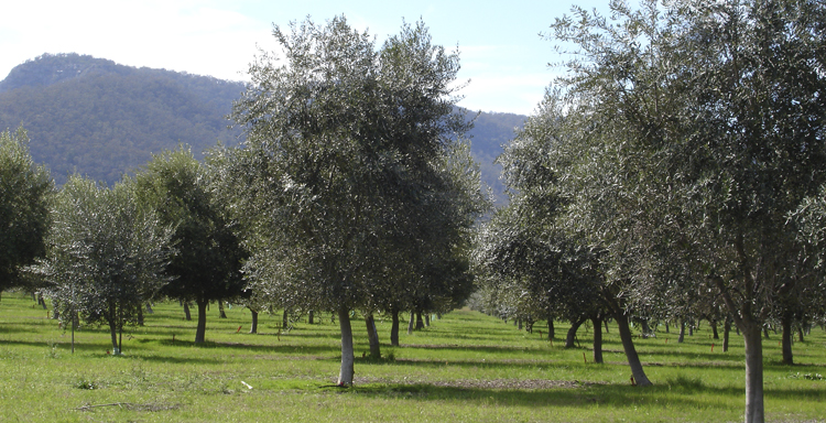 Olive Grove in Broke, Hunter Valley, NSW, Australia
